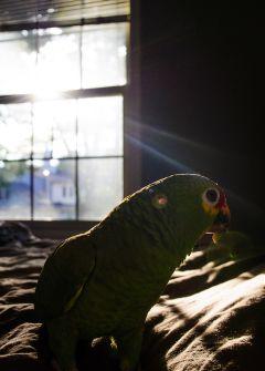 pets & animals parrot pedro bird