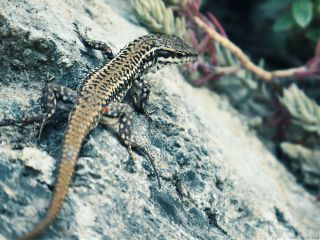 lizard pets & animals nature macro photography