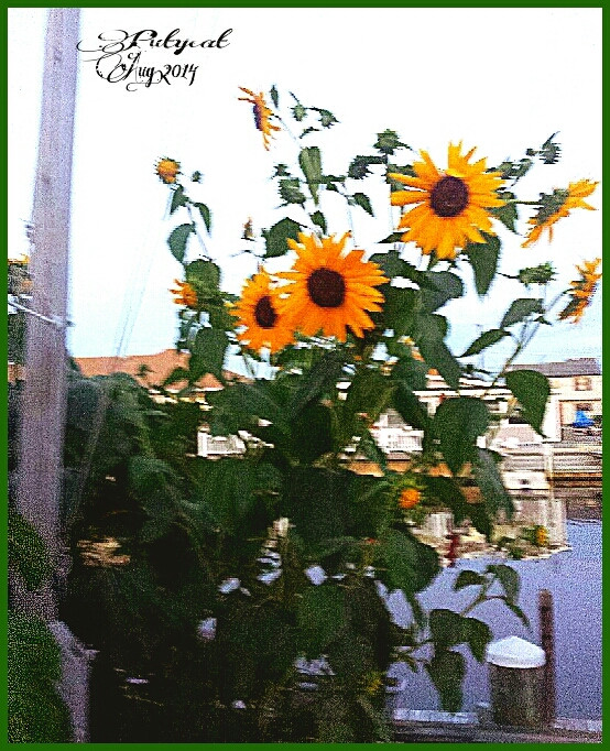 Ill get back to zoo soon... it was closing it was on a wim going there but these beautiful #sunflowers stand god knows how big but big! and #Pretty my favorite #flower #TheJerseyShore #Lagoon #LaborDay