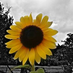 sunflower nature yellow blacknwhite lovely